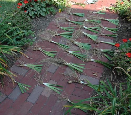 26 New Irises