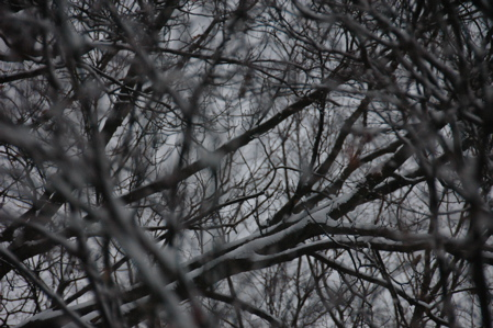 Snow on branches, December 14