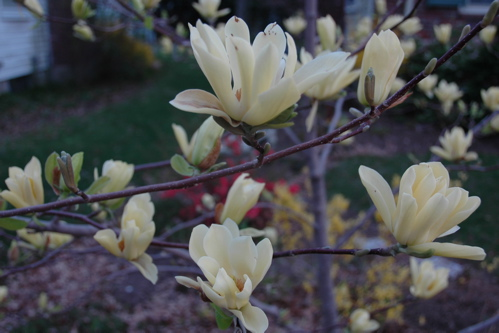 Magnolia branch, April 25, 2008