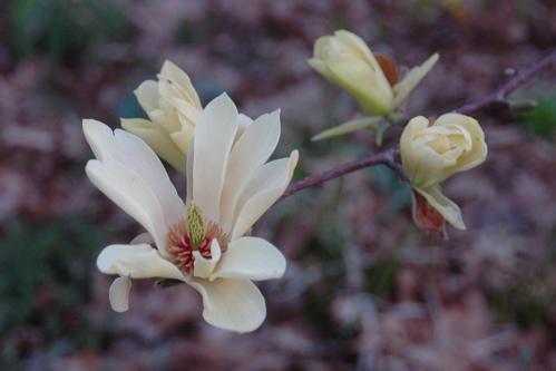 Magnolia buds, April 25, 2008