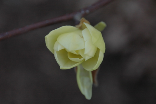 Magnolia bud, April 25, 2008