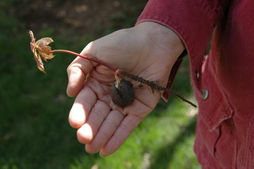 Acorn sapling
