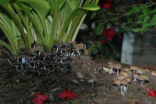 Mushrooms under the hosta, in shade
