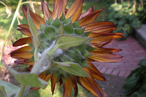 Back of sunflower head