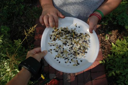 Harvest_seeds on plate
